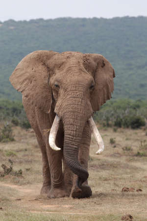 Huge male African elephant with curled trunk and large tusks photo