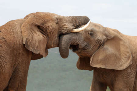 inter: African elephants greeting each other with trunks and mouths touching Stock Photo