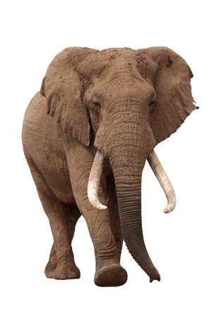 elefante: Hombre enorme elefante africano, con grandes colmillos aisladas sobre fondo blanco Foto de archivo