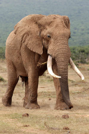 Huge male African elephant with curled trunk and large tusks Stock Photo