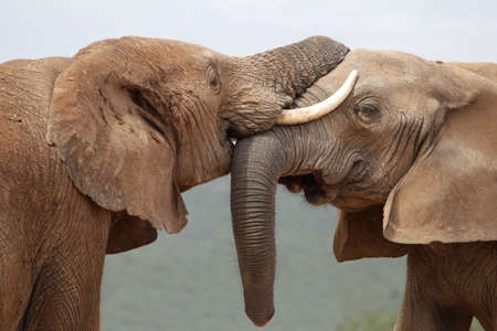 twined: African elephants greeting each other with trunks and mouths touching Stock Photo