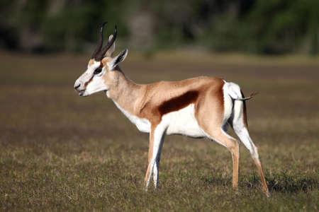springbok: Male springbok antelope standing on the open grassland