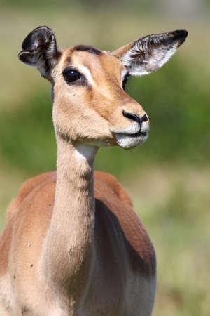 ewe: Impala antelope female with large eyes and ears