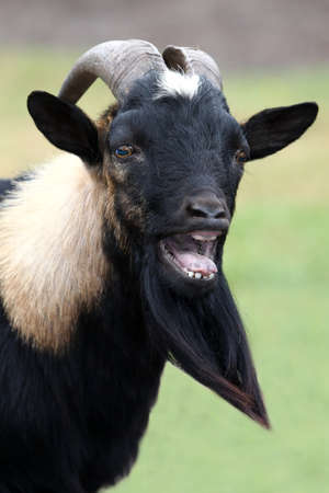 Billy goat or male goat with long beard bleating with it's mouth wide open photo