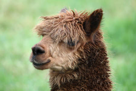 matted: Portrait of a brown Alpaca with matted hair