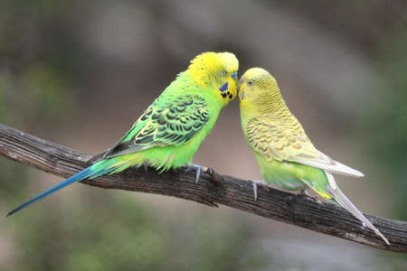 Pair of pretty budgerigar birds preparing to mate Stock Photo