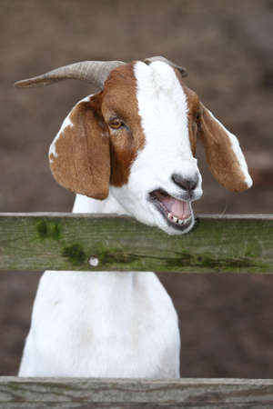 buck teeth: White and brown goat bleating at a wooden fence Stock Photo