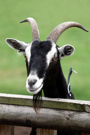 billy goat: Billy goat or male goat with long beard looking over a wooden fence Stock Photo