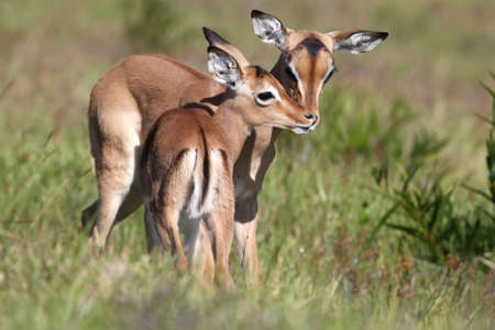 impala: Two impala antelope fawns grooming each other
