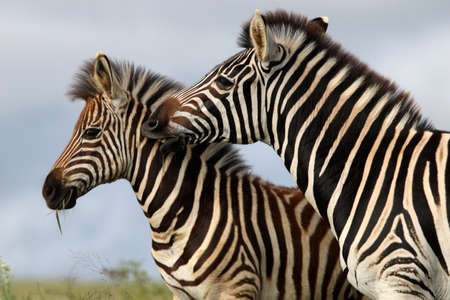Burchells or plains zebras with one biting the other photo