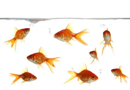 pez dorado: Burbujas de hermosos peces de colores que soplan en el agua clara Foto de archivo
