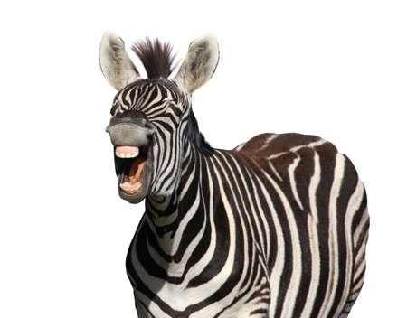 animal tongue: Zebra con uno sguardo di riso isolato su sfondo bianco