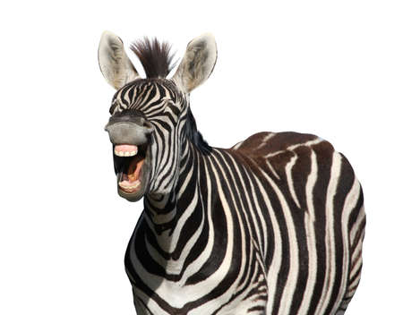 horse laugh: Zebra with a look of laughter isolated on white background Stock Photo