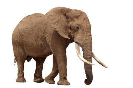 elefante: Elefante africano, con enormes colmillos aisladas sobre fondo blanco Foto de archivo
