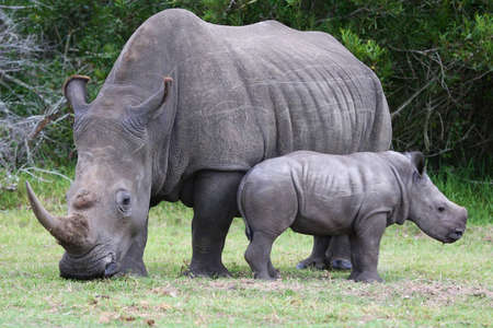 calves: Cute baby White Rhino standing next to it Stock Photo
