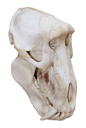 Skull of a Chacma baboon showing its fearsome teeth isolated on white background