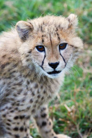 cheetah cub: Cute young cheetah cub with spotted fur Stock Photo