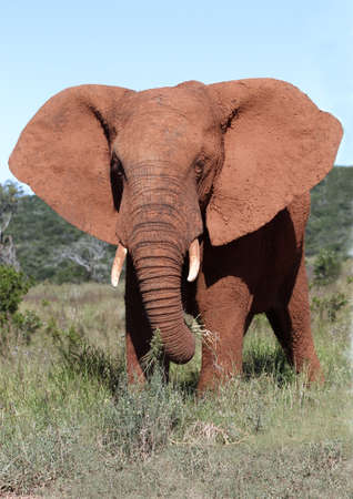 angry elephant: African elephant male with it