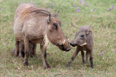Warthog mother and it photo
