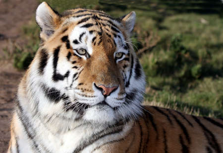 panthera tigris: Magnificent tiger with whiskers and stripes lying down