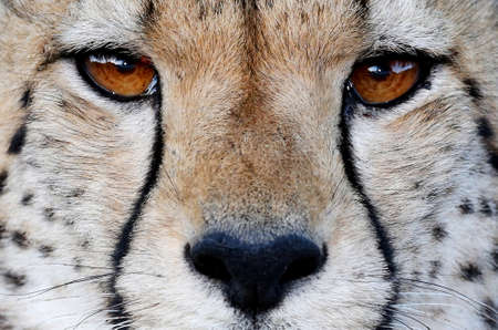 guepardo: Primer plano de los ojos marrones sorprendente de un gato salvaje del guepardo y nariz negro