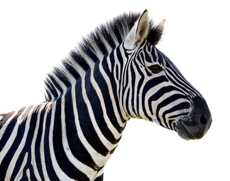 burchell: Beautiful Zebra portrait with black and white stripes - isolated  Stock Photo