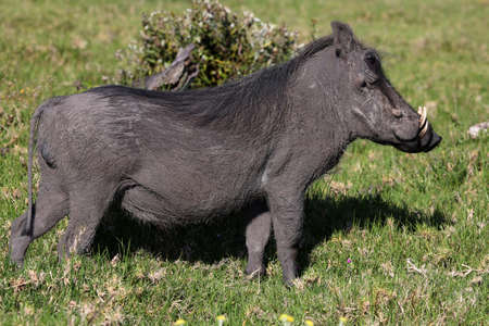 An ugly Warthog standing in the grass photo