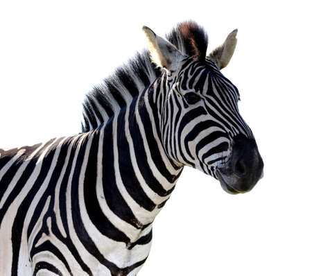 burchell: Striped zebra portrait isolated on white background