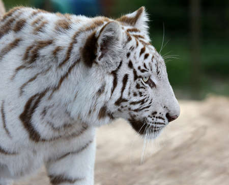 Profile of a striking white tiger with long whiskers photo