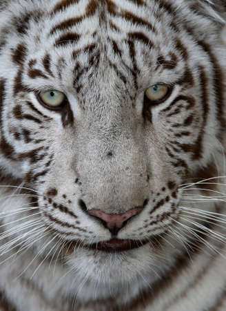 Close up of a white tiger face with green blue eyes and long whiskers photo