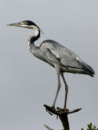 blue heron: Black Heron bird with long legs and neck perched on a branch Stock Photo