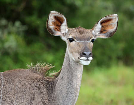Female kudu with large ears standing in African bush veld photo