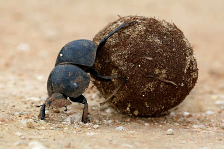 Flighless Dung Beetle Rolling Ball of Dung for Breeding Stock Photo