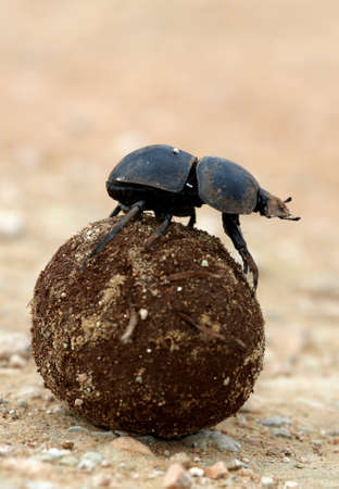 Rare Dung Beetle Flighless Rolling Ball di Dung per allevamento photo