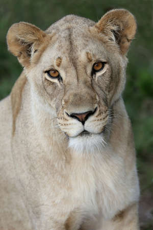 female lion: Potrait of a beautiful lioness with bright amber eyes