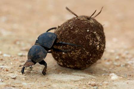 珍しい Flighless フンコロガシ繁殖のため糞のボールを圧延 写真素材