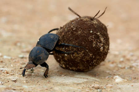 Rare Flighless Dung Beetle Rolling Ball of Dung for Breeding