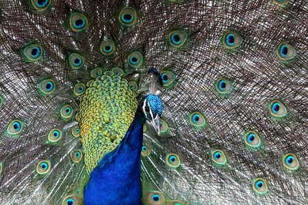 strikingly: Strikingly beautiful peacock bird displaying to its mate