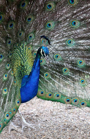 strikingly: Strikingly beautiful peacock bird displaying to its mate