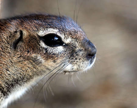 black squirrel: Portrait of a cute ground squirrel from Southern Africa Stock Photo