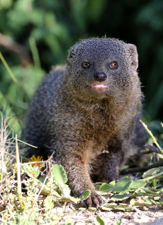 mongoose: Cute Grey Mongoose hunting in the African undergrowth