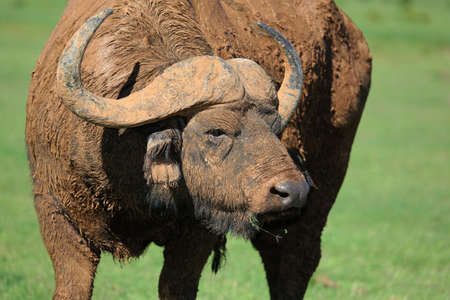 caked: Cape buffalo bull caked in mud for protection and cooling