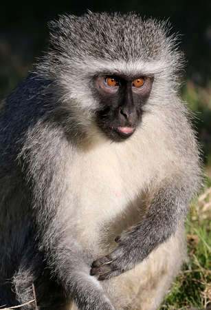 squint: Humorous Vervet monkey with squint eye expression Stock Photo