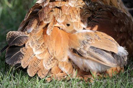赤ちゃんは母鶏の羽の鶏の非表示 写真素材