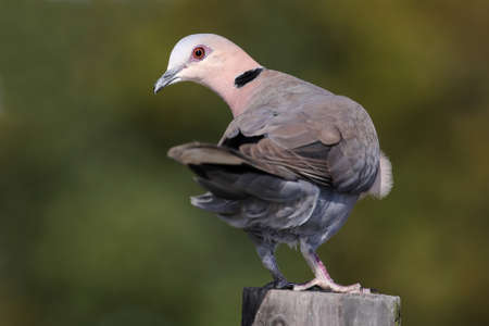 turtle dove: Ring-necked or Cape turtle dove perched on a pole