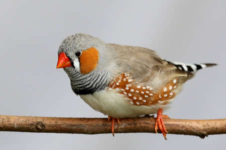 perched: Male Zebra Finch perched on a branch