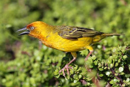 Cape weaver bird with its beak open as it calls