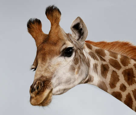 funy: Portrait of an inquisitive giraffe from Africa isolated on white