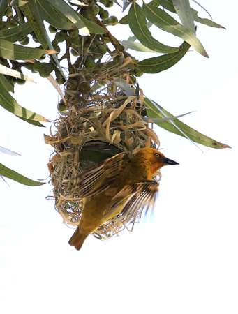 weaver bird: Male Cape weaver bird at the entrance to its nest Stock Photo