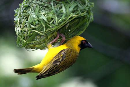 完成品のぶら下がっているのほぼ仮面の織工の鳥の巣